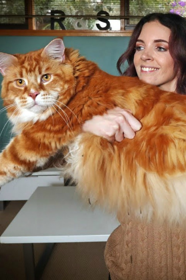 Surprise! Couple Adopts Tiny Kitten, It Grows Up To Be World's Longest Cat