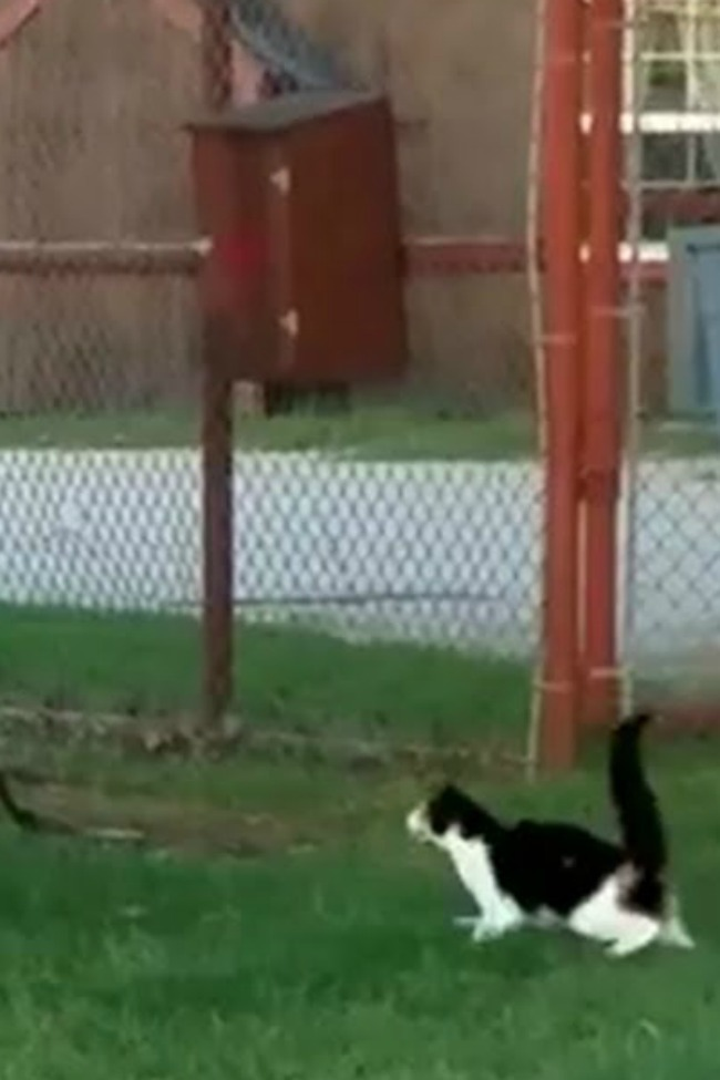 Brave House Cat Hilariously Tries To Take On Lion