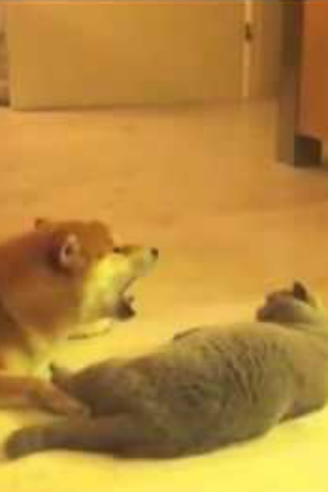 Dog Tries To Meow At Cat; Cat Is Unimpressed