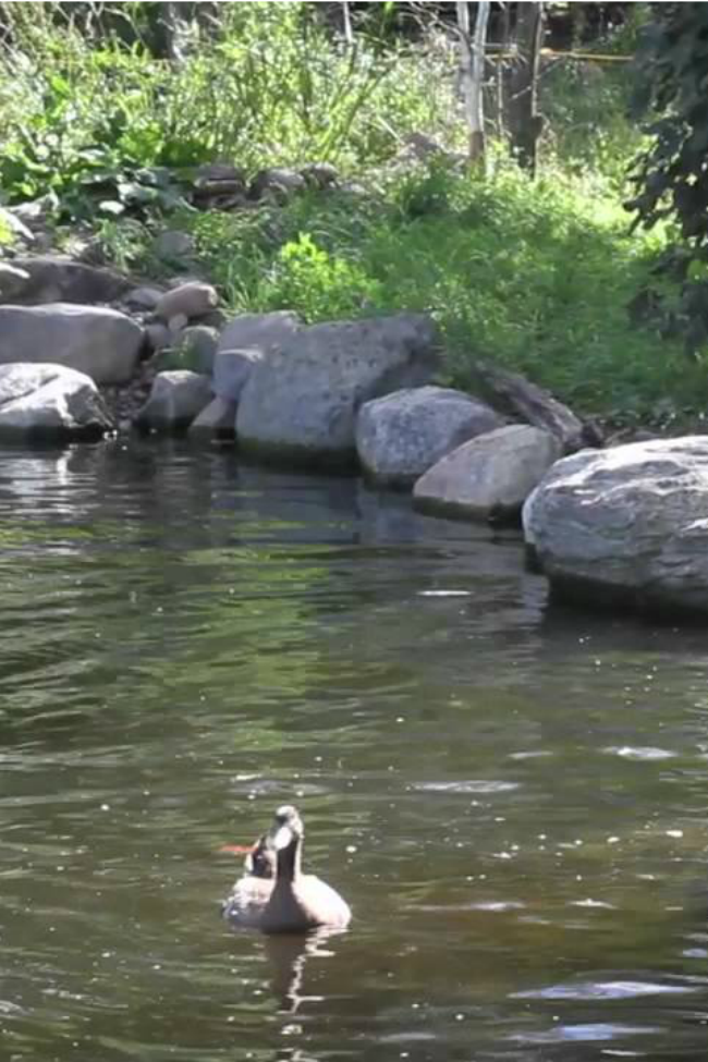 These Neglected Ducks Get Their First Swim In A Pond!