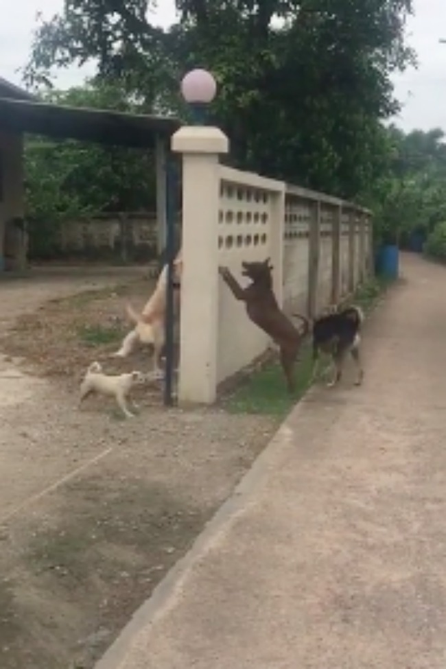 Brave Dogs Defend Wall, Don't Realize The Can Go Around It