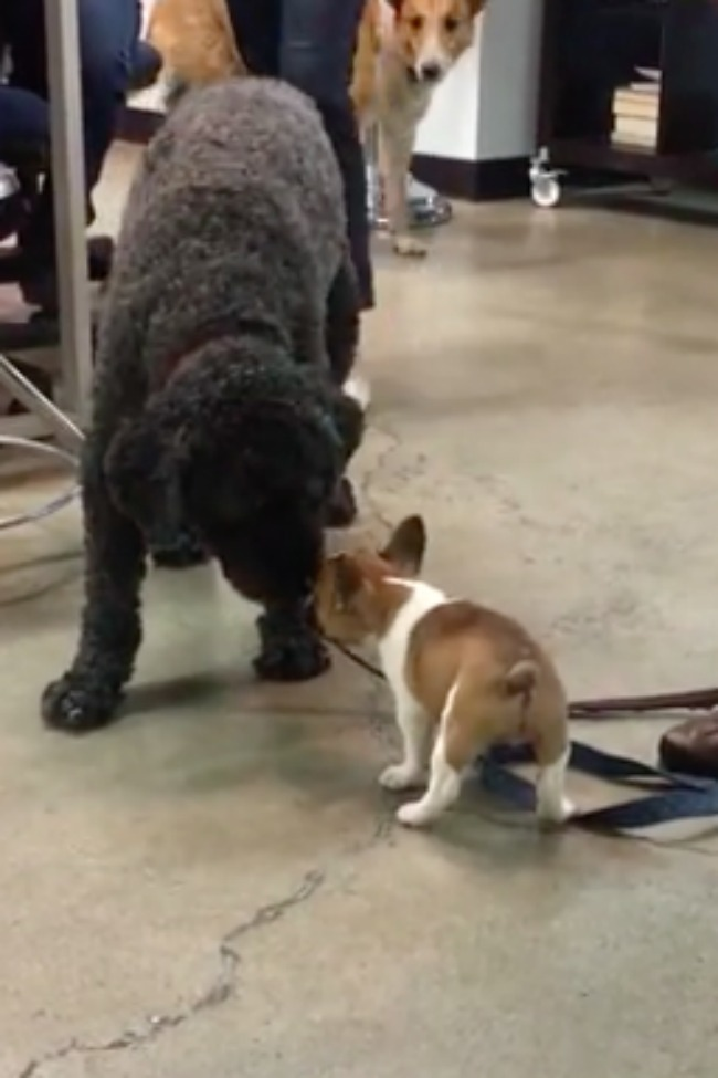 Tiny Puppy Desperately Wants To Play With Much Larger Dog