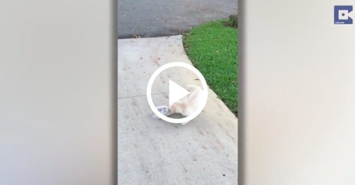 This Puppy Struggles To Bring In Newspaper, And It's The Cutest Thing Ever