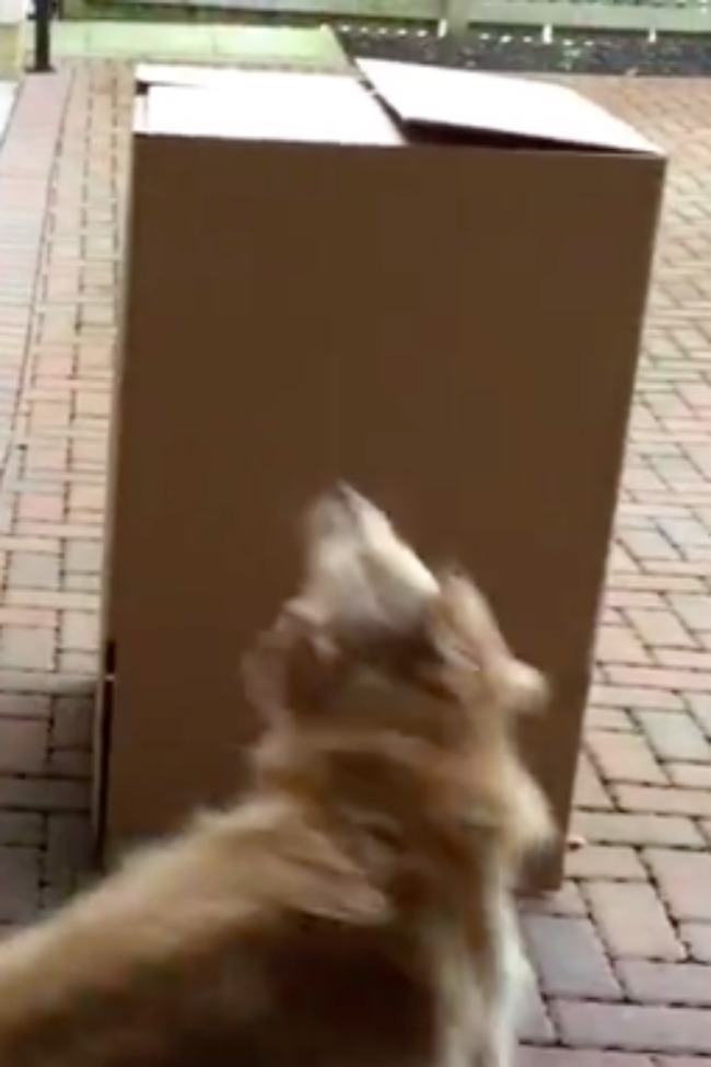Dog Overjoyed To Find 'Surprise' Box Waiting For Her!