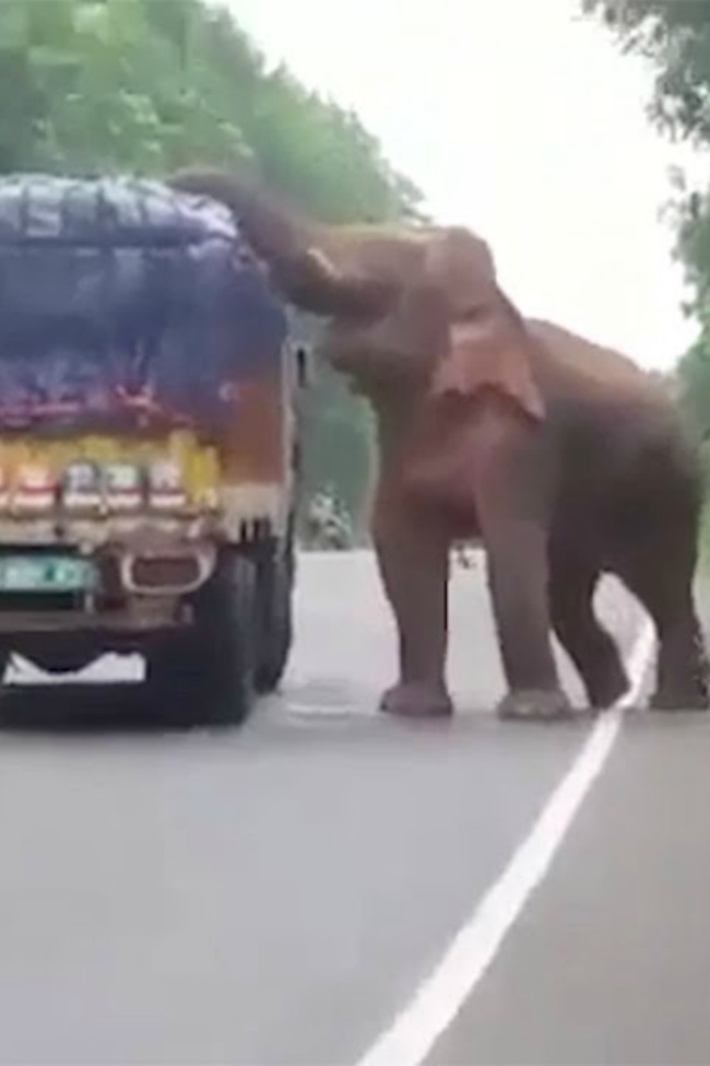 Shoplifting Elephant Steals And Eats Potatoes From A Stopped Truck