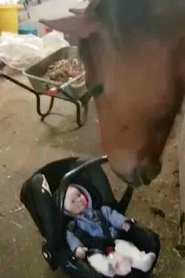 Gentle Horse Acts As Nanny; Rocks Carseat For Crying Baby