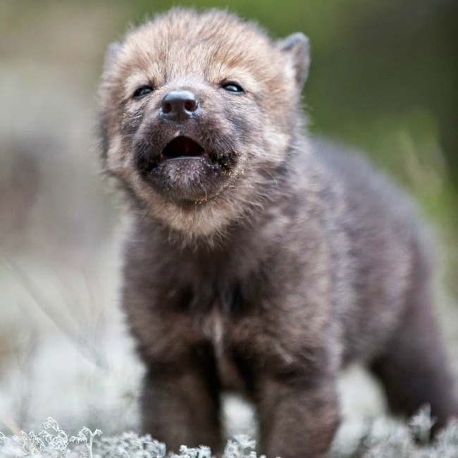 wolf pup opening eyes