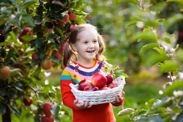 Smiling little girl is holding a basket of apples, in an orchard.