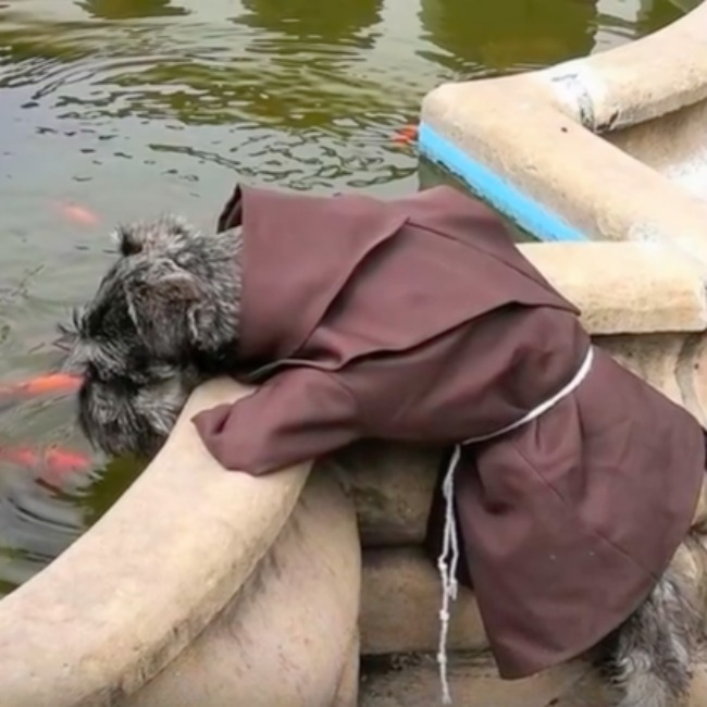 dog dressed as monk looks into a fish pond - screenshot from video about the event