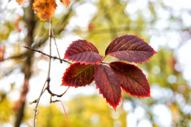 Find a red leaf on the scavenger hunt for kids - red leaf on branch in the autumn