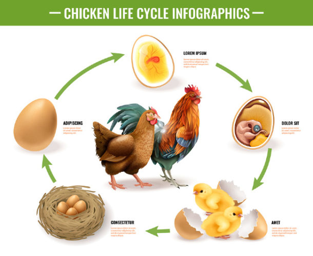 Baby chick to chicken circle of life