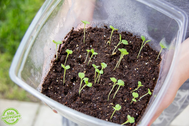 sprouts appearing in soil from planting seeds in a plastic container