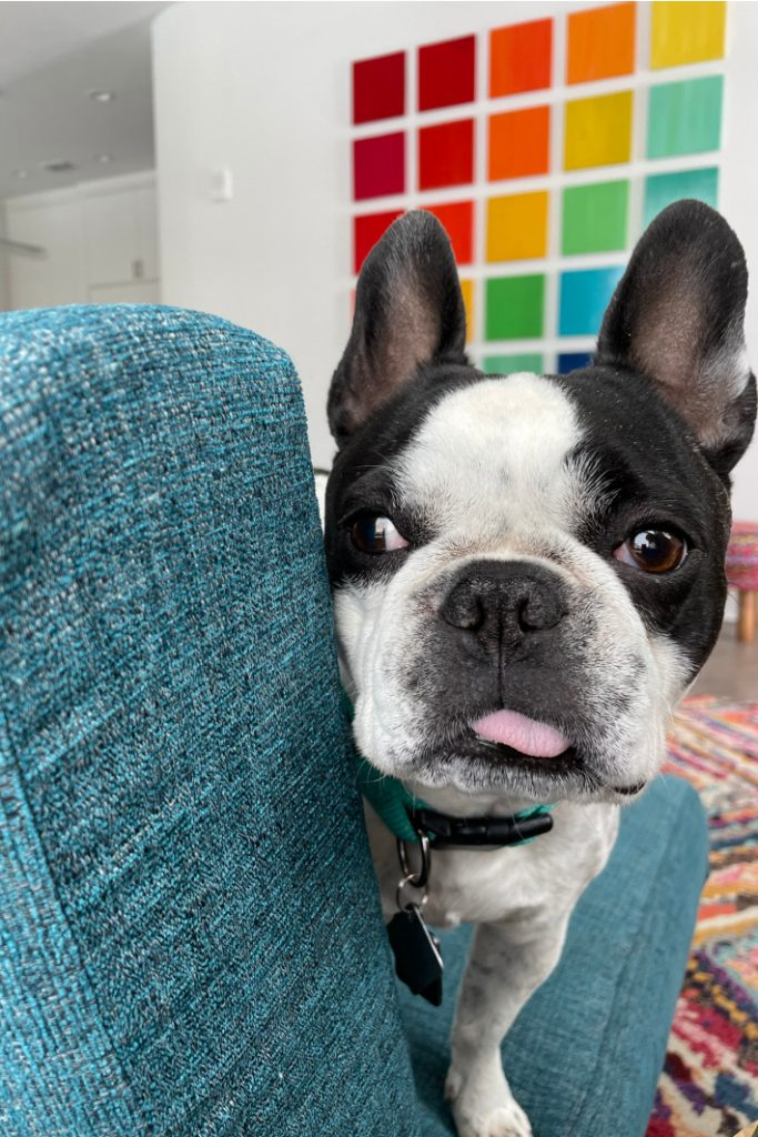 Joybird sectional sofa review and story from Kids Activities Blog - French Bulldog named panda sitting on Joybird couch in living room