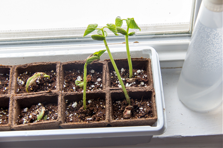 bean shoots growing in peat pots on a windowsill 26 days after dried beans were planted