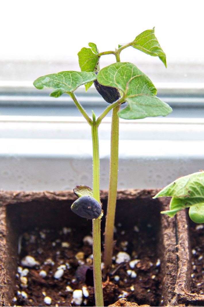 A bean shoot growing in a peat pot from a dried bean