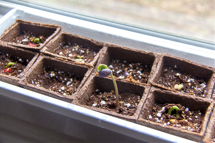 lima beans sprouting in a window box